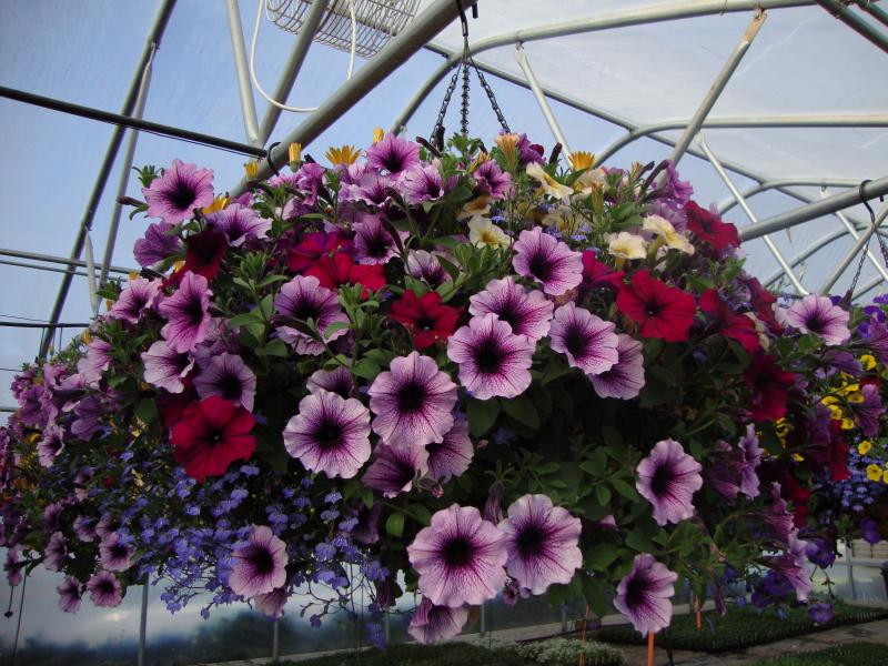 Basket with Petunias