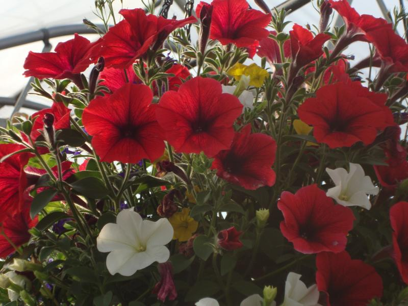 Basket with Red Petunia